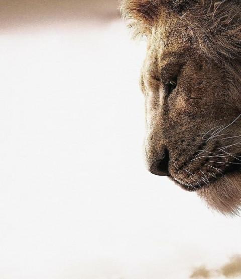 Lion Face CB Picsart Editing Background