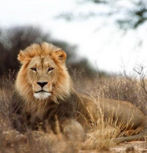 Picsart Lion Photo Editing Background