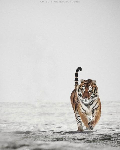 Tiger Editing Picsart Background Downlaod