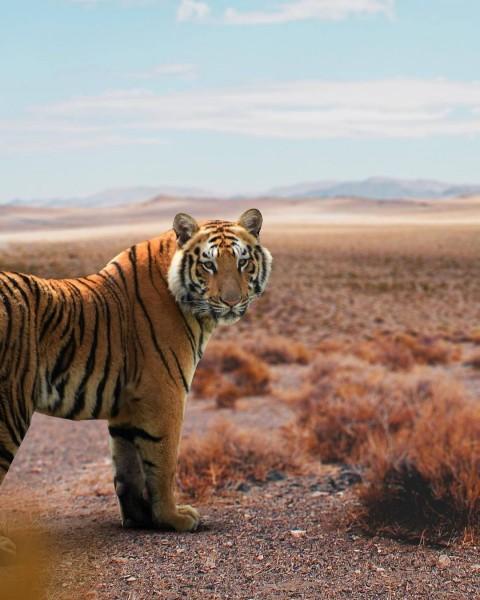 Tiger PicsArt CB Editing HD Background Download