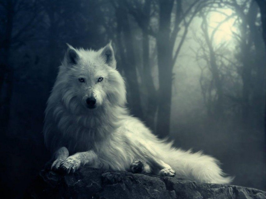 White Wolf Sitting Background Full HD Wallpaper Download